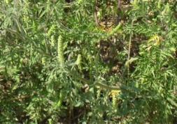 Lentilles et allergie au pollen : alerte à l\'ambroisie !