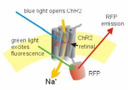 Optogénétique : Nouvel espoir pour restituer la vue aux malvoyants !