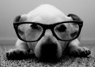 Après les lentilles pour éléphants : les lunettes pour chien !