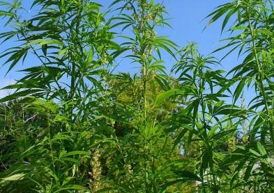 Etude : Le cannabis efficace pour améliorer la vision ?